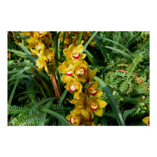 Orquídeas de Cattleya - amarillo Póster