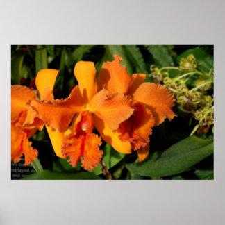 Orquídeas de Cattleya - naranja Póster