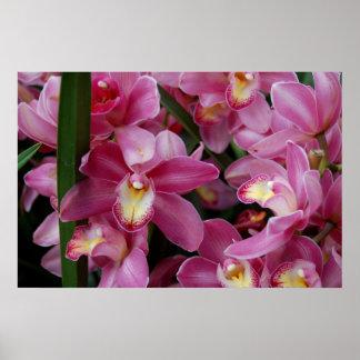 Orquídeas de Cattleya - rosa Póster