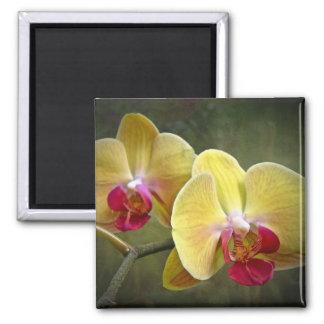 Orquídeas de polilla amarillas - Phalaenopsis Imán Cuadrado