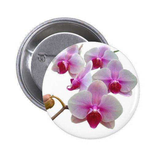 Orquídeas de polilla rosadas - Phalaenopsis Pins