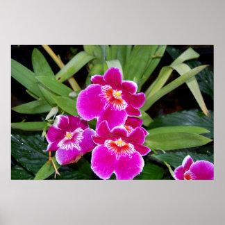 Orquídeas del Phalaenopsis Póster
