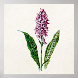 Orquídeas manchadas de la flor salvaje de la orquí posters