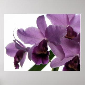 Orquídeas púrpuras elegantes de Cattleya Póster