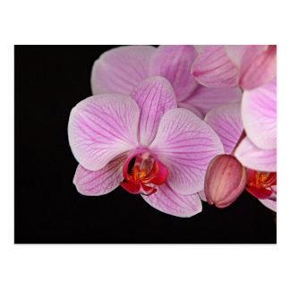 Orquídeas rosadas preciosas postal