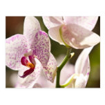 Orquídeas Tarjeta Postal
