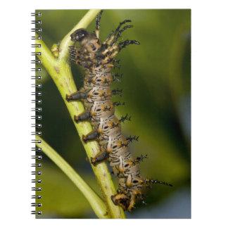 Oruga de cuernos del diablo de la nuez dura (Cithe Spiral Notebook