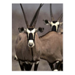 Oryx antelope post card