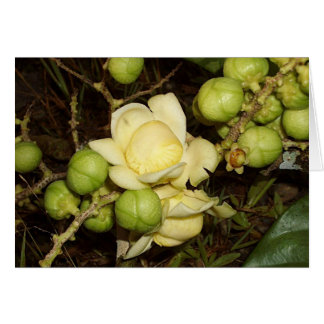 OSA: Eschweilera longirachis Card
