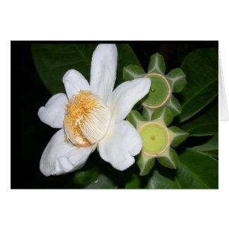 OSA: Gustavia brachycarpa Card