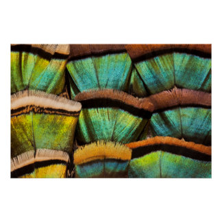 Oscillated Turkey feathers Poster
