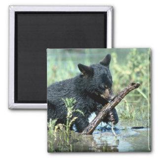 Oso-cachorro negro en pantano del verano imán cuadrado