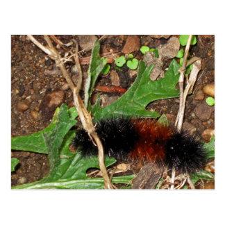 Oso Caterpillar lanoso - fotografía Postales