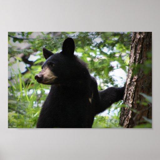 Oso Cub negro lindo que sube en el árbol en bosque Poster