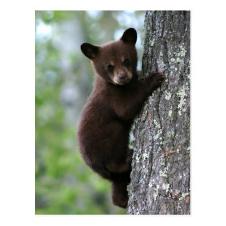 Oso Cub que sube un árbol Postales