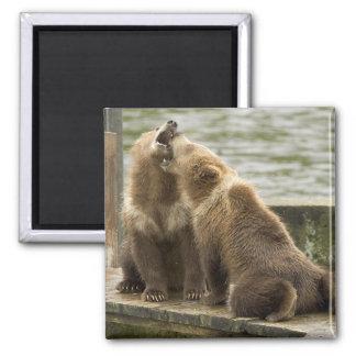 Oso Cubs de Alaska Brown que juega el imán