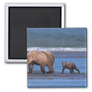 Oso de Brown, arctos del Ursus, península de Alask Imán Cuadrado