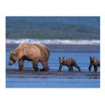 Oso de Brown, arctos del Ursus, península de Alask Postales