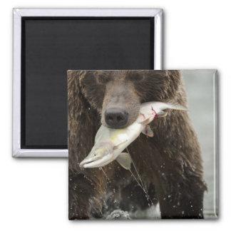 Oso de Brown, o oso grizzly costero, Ursus Imán Cuadrado