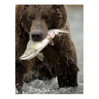 Oso de Brown, o oso grizzly costero, Ursus Tarjeta Postal