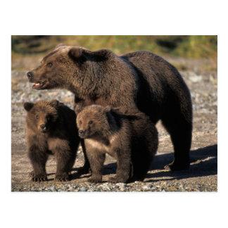 Oso de Brown, oso grizzly, cerda con la mirada de Postales