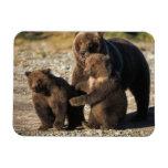 Oso de Brown, oso grizzly, cerda con los cachorros Imán Rectangular