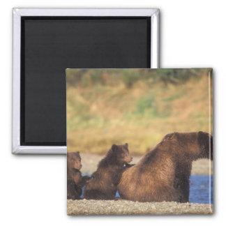 Oso de Brown, oso grizzly, cerda con los cachorros Imán Cuadrado
