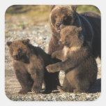 Oso de Brown, oso grizzly, cerda con los cachorros Calcomanía Cuadradase