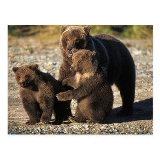 Oso de Brown, oso grizzly, cerda con los cachorros Postal
