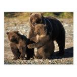 Oso de Brown, oso grizzly, cerda con los cachorros Postales