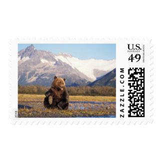 Oso de Brown oso grizzly en cauce del río con