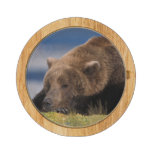 Oso de Brown, oso grizzly, tomando una siesta, Kat