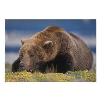 Oso de Brown, oso grizzly, tomando una siesta, Kat Arte Con Fotos