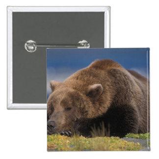 Oso de Brown, oso grizzly, tomando una siesta, Kat Pin Cuadrada 5 Cm