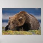 Oso de Brown, oso grizzly, tomando una siesta, Kat Póster
