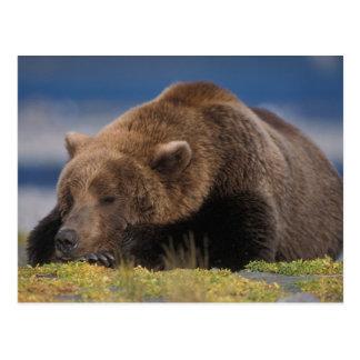Oso de Brown, oso grizzly, tomando una siesta, Kat Tarjetas Postales