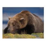 Oso de Brown, oso grizzly, tomando una siesta, Postales