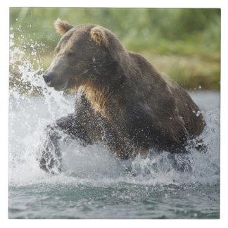 Oso de Brown que persigue salmones en el río Azulejo Cuadrado Grande