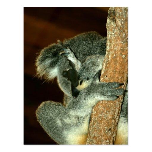 Oso de koala, durmiendo con la pata sobre cara tarjeta postal