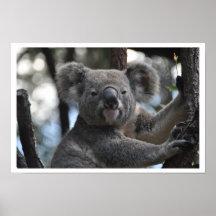 Oso de koala en árbol póster
