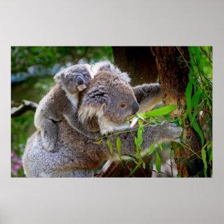 Oso de koala lindo del bebé con la mamá en un árbo póster