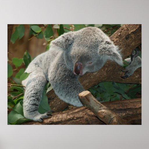 Oso de koala lindo el dormir poster