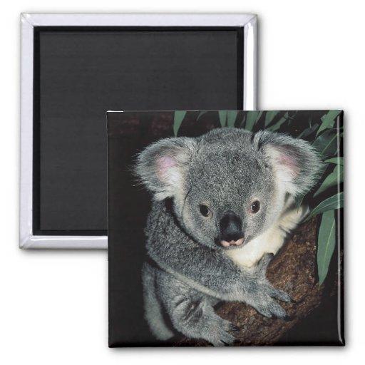 Oso de koala lindo iman de nevera