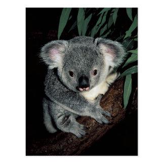 Oso de koala lindo postales