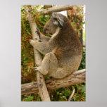 Oso de koala que duerme en un árbol impresiones