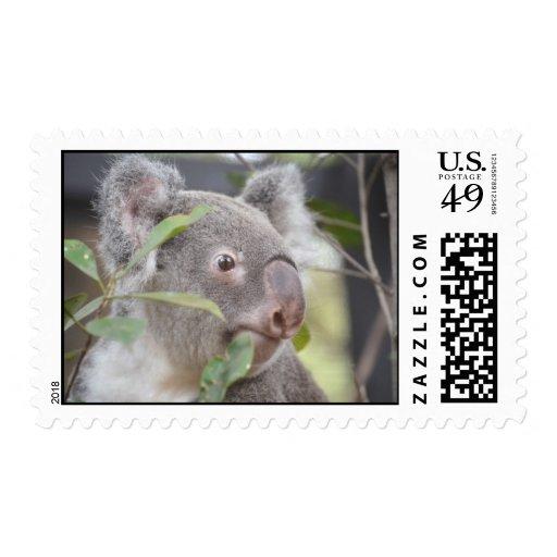 oso de koala que mira c derecha franqueo