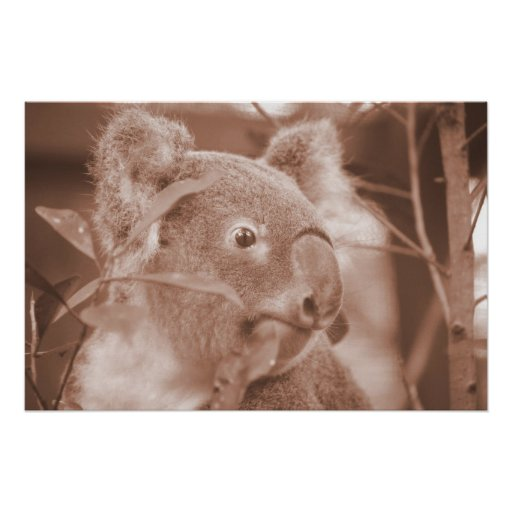 oso de koala que mira sepia.jpg derecho poster