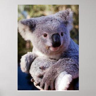Oso de koala que sostiene un oso de koala póster