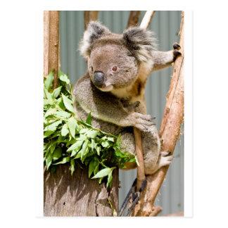 Oso de koala tarjetas postales