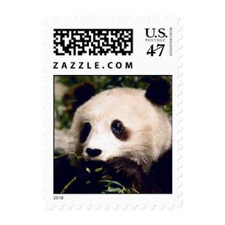 Oso de panda dulce lindo que masca el sello de los